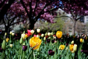 nyc-spring-tulips1