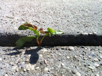 sidewalk-crack-norway-maple-weed-opportunism